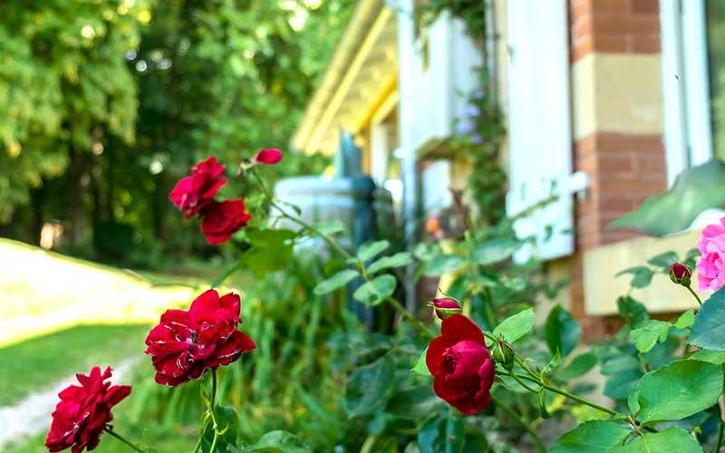 Roses outside the Chateau