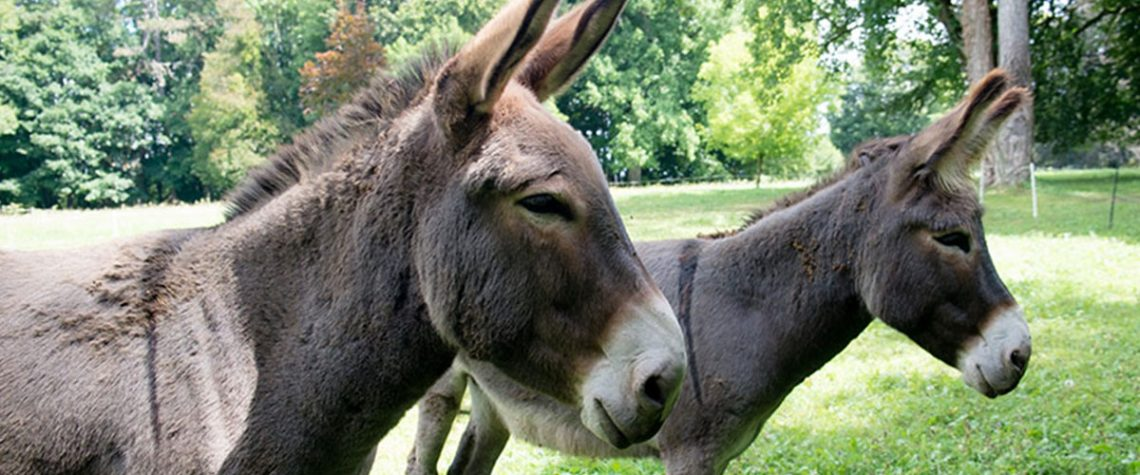 The two donkeys in the garden of the Chateau